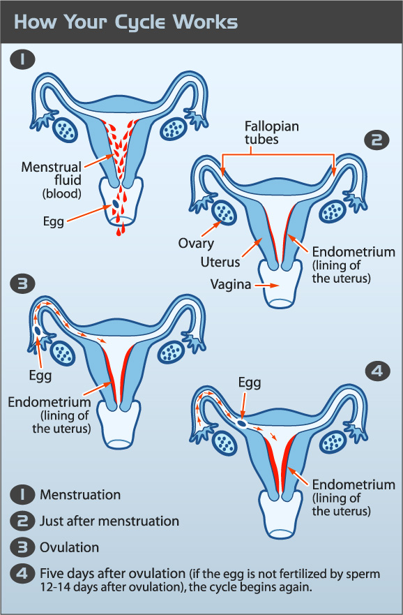 A four step diagram of the mentrual cycle, including ovulation.